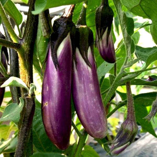Brinjal Purple Long - Desi Vegetable Seeds - Nurserylive