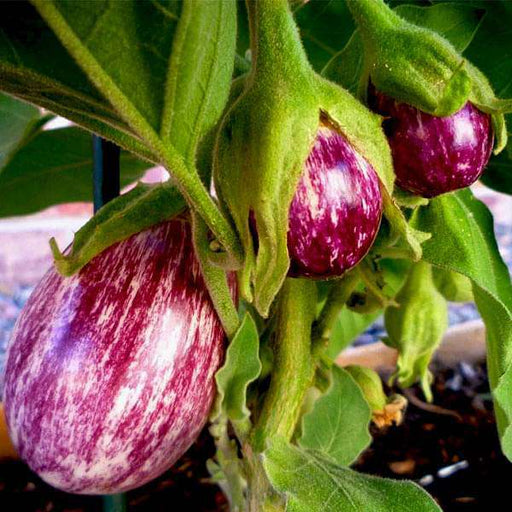 Brinjal Purple Round - Desi Vegetable Seeds - Nurserylive