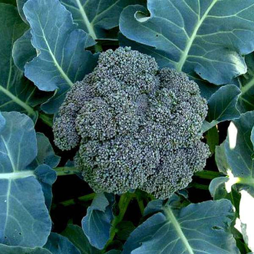 Broccoli Green - Desi Vegetable Seeds - Nurserylive