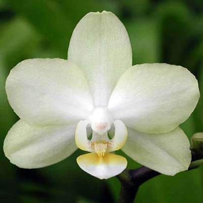 Butterfly Orchid - 5 Seeds - Nurserylive