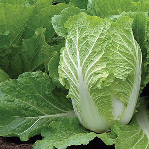 Cabbage Chinese - Organic Vegetable Seeds - Nurserylive
