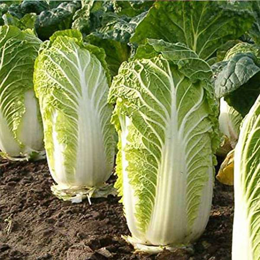 Cabbage Chinese Wong Bok - Vegetable Seeds - Nurserylive