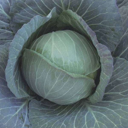 Cabbage Green Ball - Desi Vegetable Seeds - Nurserylive