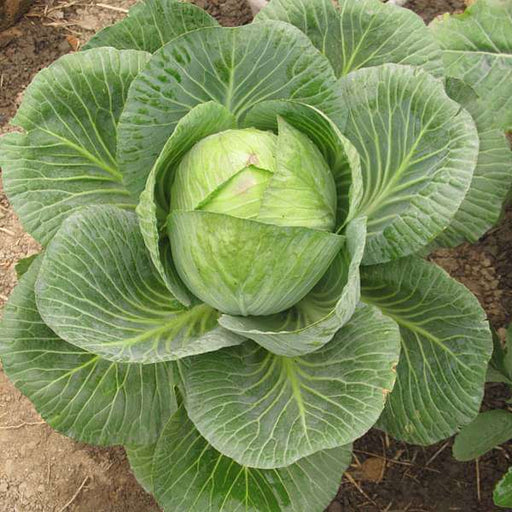 Cabbage Poi - Desi Vegetable Seeds - Nurserylive