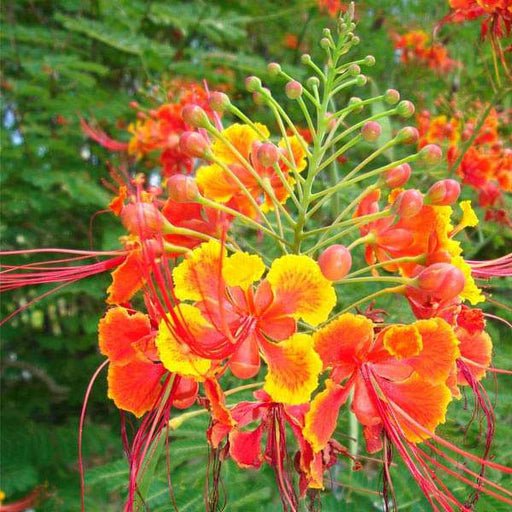Caesalpinia Pulcherrima, Peacock Flower, Red Bird of Paradise - 0.5 kg Seeds - Nurserylive