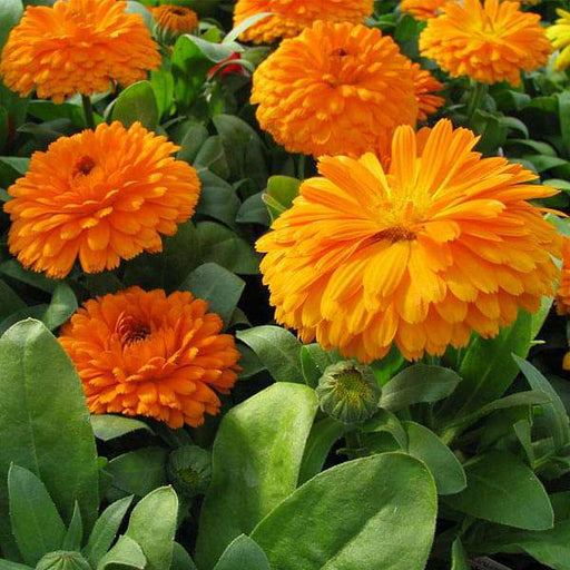 Calendula Bon Bon Orange - Flower Seeds - Nurserylive