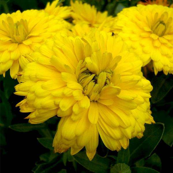 Calendula Bon Bon Yellow - Flower Seeds - Nurserylive