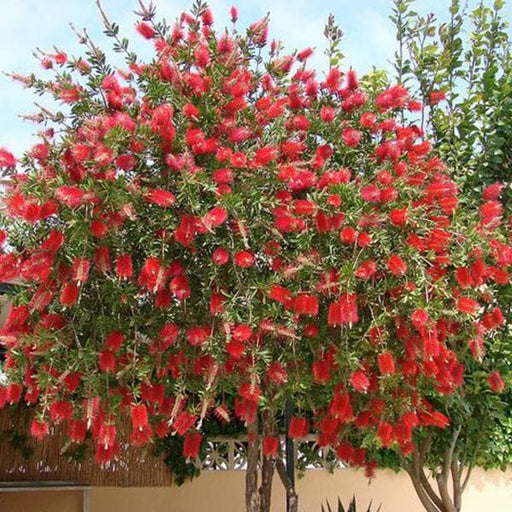 Callistemon Citrinus, Bottle Brush - 0.5 kg Seeds - Nurserylive