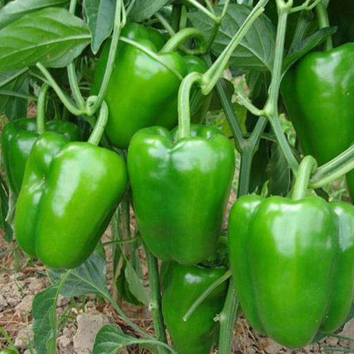 Capsicum Green - Desi Vegetable Seeds - Nurserylive