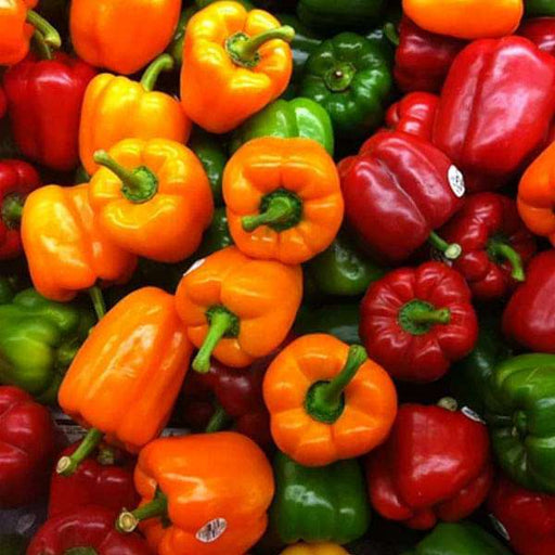 Capsicum Mix Color, Bell Pepper Misticanza - Vegetable Seeds - Nurserylive