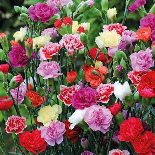 Carnation Giant Chabaud Mixed Color - Flower Seeds - Nurserylive