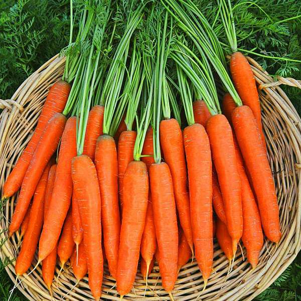 Carrot Mohan Chantenay Nantes - Vegetable Seeds