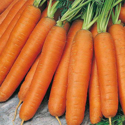 Carrot Nantes - Organic Vegetable Seeds - Nurserylive