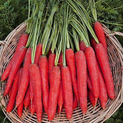Carrot Selection Red - Vegetable Seeds - Nurserylive