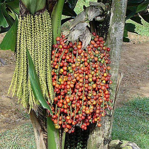 Caryota Urens, Fish Tail Palm - 0.5 kg Seeds - Nurserylive