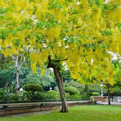 Cassia Fistula, Golden Shower Tree - 0.5 kg Seeds - Nurserylive