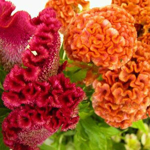 Celosia Cockscomb Dwarf Cristata Mixed Color - Flower Seeds - Nurserylive