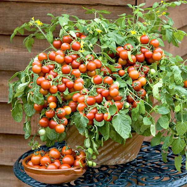 Buy 1 1 Free Cherry Tomato Cherry Tomato Honey Vegetable Seeds Online From Nurserylive At Lowest Price