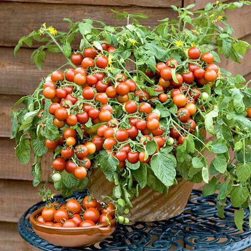 Cherry Tomato, Cherry Tomato Honey - Vegetable Seeds - Nurserylive