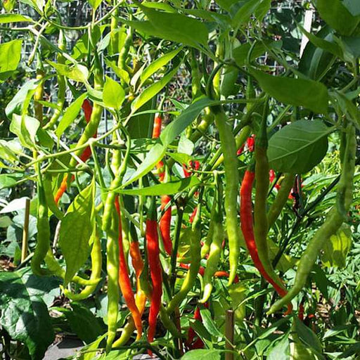 Chilli Jwala - Desi Vegetable Seeds - Nurserylive