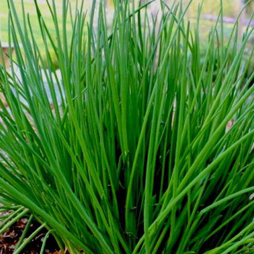 Chives - Herb Seeds - Nurserylive