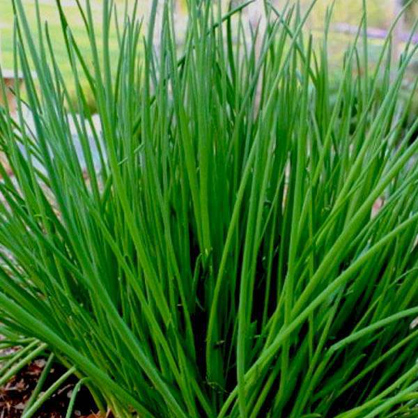 Chives - Herb Seeds