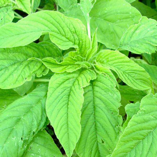 Choulai Green Edible, Amaranthus Green Edible - Desi Vegetable Seeds - Nurserylive
