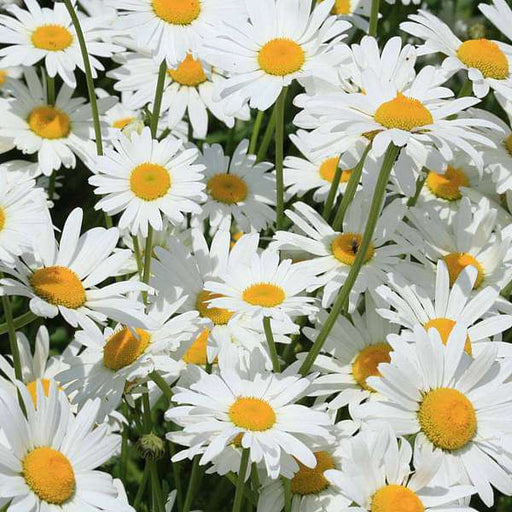 Chrysanthemum Alaska White - Flower Seeds - Nurserylive