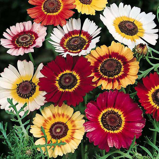 Chrysanthemum Carinatum Mixed Color - Flower Seeds - Nurserylive