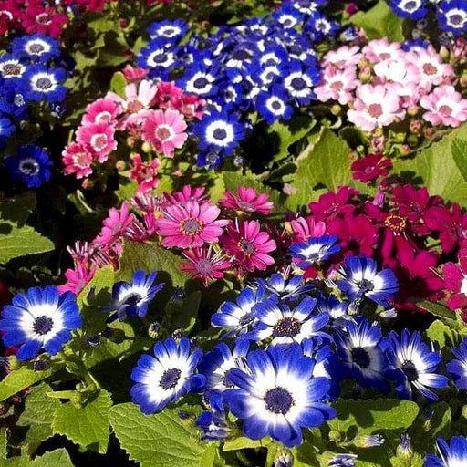 Cineraria Mixed Color - Flower Seeds - Nurserylive