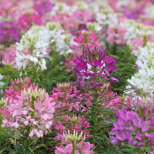 Cleome Spinosa Mixed Color - Flower Seeds - Nurserylive