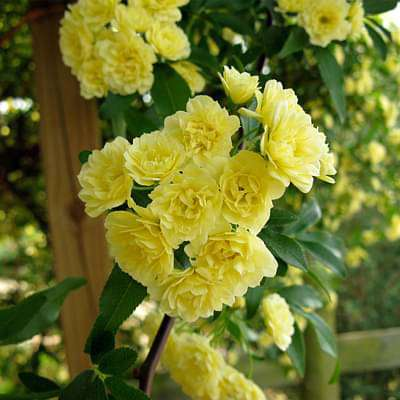 Climbing Rose ( Yellow ) - 10 Seeds - Nurserylive
