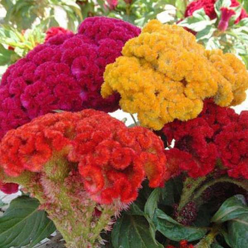 Cockscomb Mixed Color - Desi Flower Seeds - Nurserylive