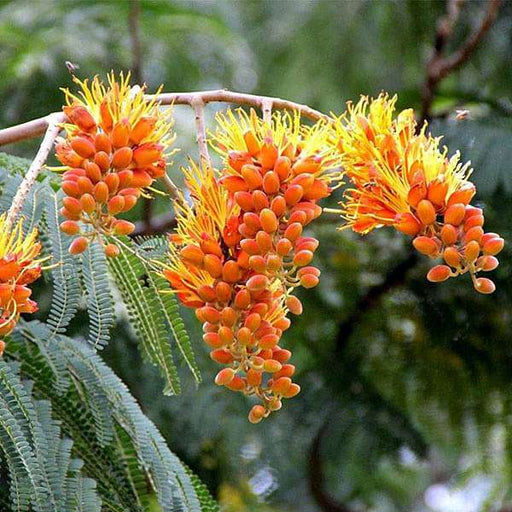 Colvillea Racemosa, Golden Flower Tree - 1 kg Seeds - Nurserylive