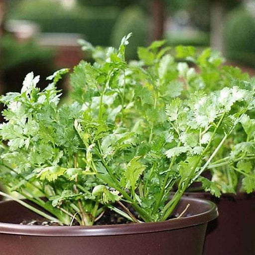 Coriander Green Aroma - Desi Vegetable Seeds - Nurserylive