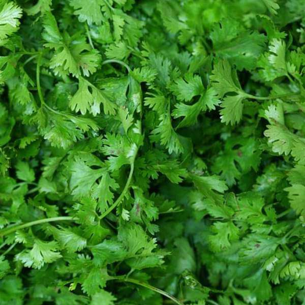 Coriander Shalimar Improved - Organic Vegetable Seeds - Nurserylive