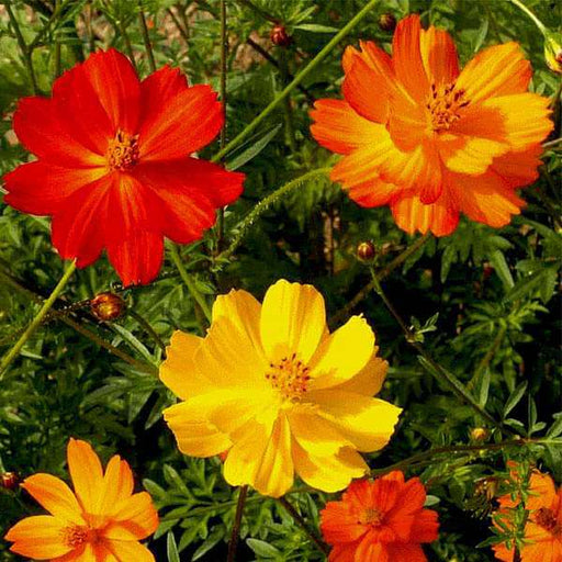Cosmos Bright Light Mixed Color - Flower Seeds - Nurserylive