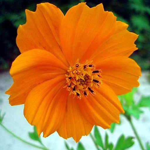 Cosmos Orange - Desi Flower Seeds - Nurserylive