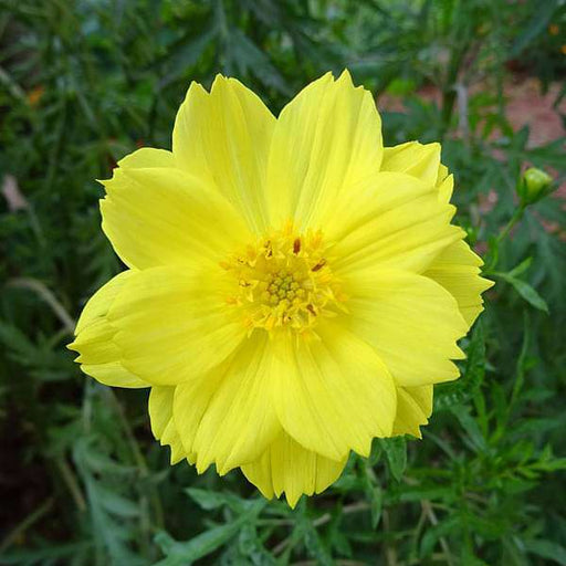 Cosmos Yellow - Desi Flower Seeds - Nurserylive