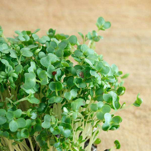 Cress Common, Garden Cress - Herb Seeds - Nurserylive