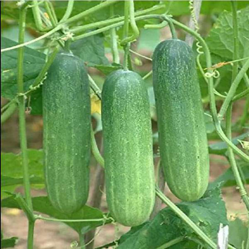 Cucumber Green - Organic Vegetable Seeds - Nurserylive