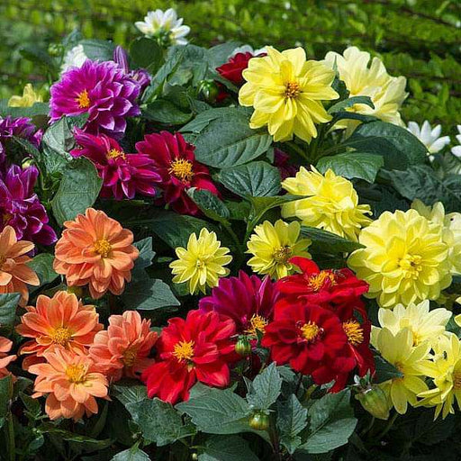 Dahlia Figaro Mixed Color - Flower Seeds - Nurserylive