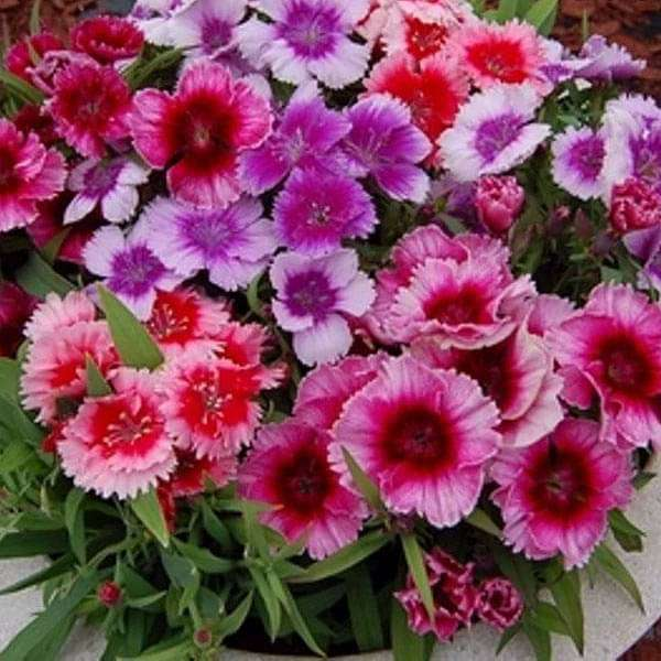 Dianthus Baby Doll Mixed Color - Flower Seeds - Nurserylive