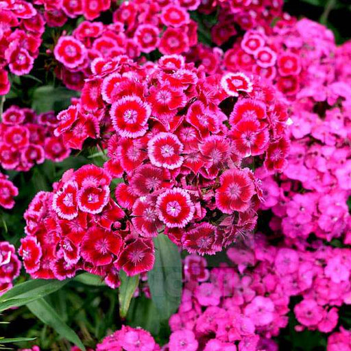 Dianthus Barbatus Mixed Color - Flower Seeds - Nurserylive