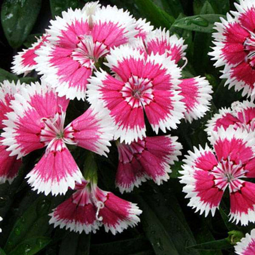 Dianthus Chinensis - Flower Seeds - Nurserylive