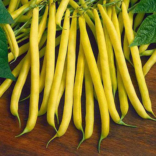 Dwarf Bean Golden Teepee - Vegetable Seeds - Nurserylive