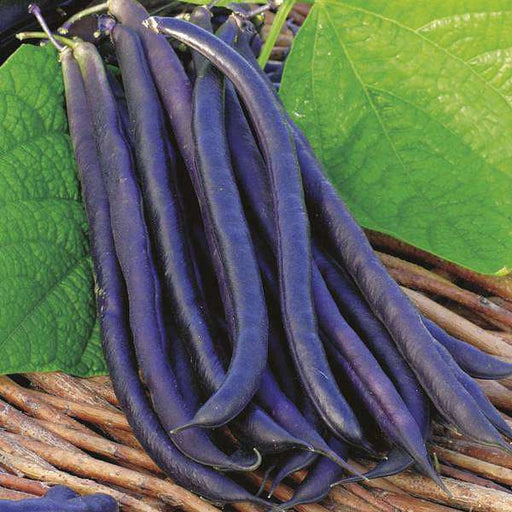 Dwarf Beans Purple Queen - Vegetable Seeds - Nurserylive