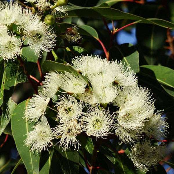 Eucalyptus Citriodora, Lemon Eucalyptus - 0.5 kg Seeds - Nurserylive
