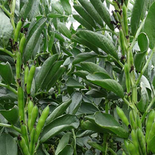 Fava Beans Selection Bakla - Vegetable Seeds - Nurserylive
