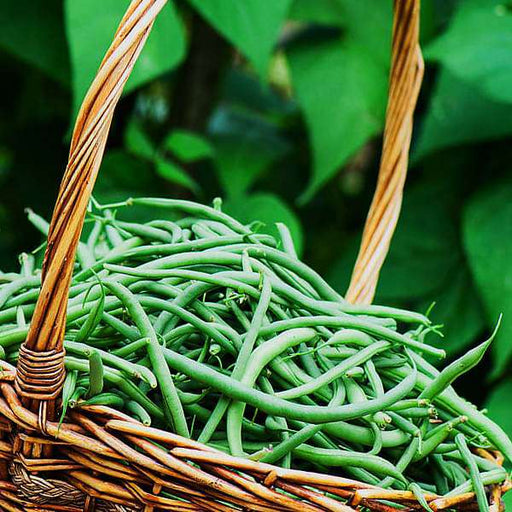 France Beans Hybrid Selection, French Beans - Vegetable Seeds - Nurserylive